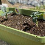 ブロッコリー植え付けとソラマメの様子