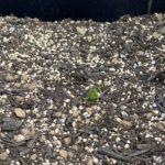 ジャガイモの芽が出始めました