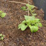 今日はじゃがいもの芽かき&1回目の土寄せ